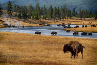 Bison crossing the Firehole River