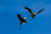 Eagles practicing aerial maneuvers, Deep Creek
