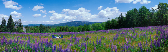 Lupine on Beech Mountain, Somesville, Maine