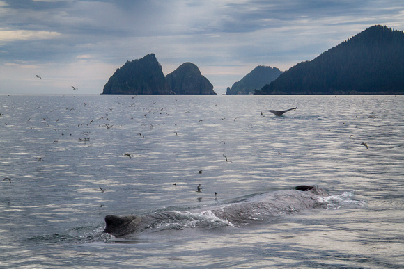 Humpbacks in the College Fiord