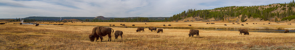 Bison along the Firehole River