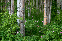 Birch Forest and Wild Rose, Chena Forest