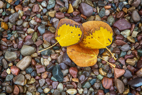 Aspen Leaves and Quartzite Pebbles