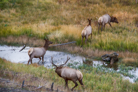 Bull Elk with his Harem